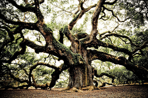 Johns Island Angel Oak Tree